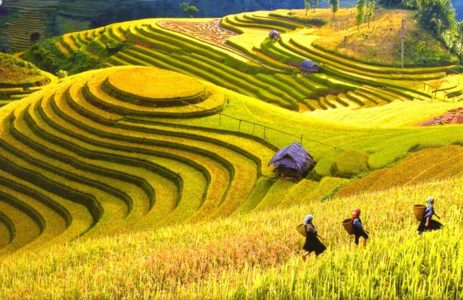 Stunning Golden Terraced Field in May/ October